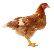 Brown hen isolated. Royalty Free Stock Image