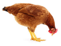 Brown hen isolated. Stock Images