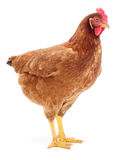 Brown hen isolated. Stock Photography