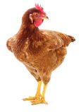 Brown hen isolated. Royalty Free Stock Photo