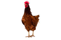 brown hen isolated on white, studio shot Royalty Free Stock Photo