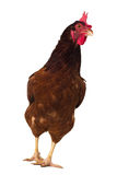 brown hen isolated on white, studio shot Stock Images