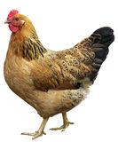Brown hen isolated on white, studio shot. Royalty Free Stock Photos