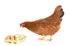 Brown hen looking at eggs in package. Royalty Free Stock Image