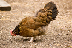 Brown Hen Pecking Stock Images