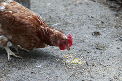 Brown hen pecking corn in the chicken coop Royalty Free Stock Image