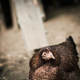 Brown hen Stock Photography
