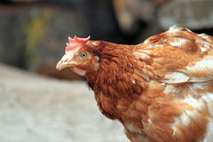 Brown hen portrait Stock Photography