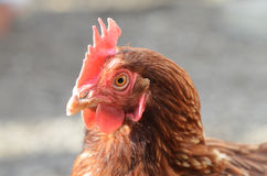 Brown hen Royalty Free Stock Images