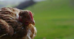 Brown hen's stock video footage