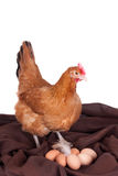 Brown hen with six eggs on a brown cloth Royalty Free Stock Images
