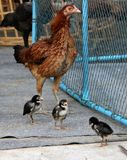Brown hen standing with her brood, one chicken mum and three chi royalty free stock photo