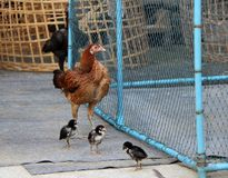Brown hen standing with her brood, one chicken mum and three chi stock images