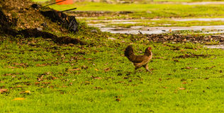 Brown hen walking across a lawn Royalty Free Stock Image