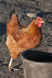 Brown Hen Stock Images