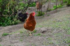 Brown hen walking Stock Images