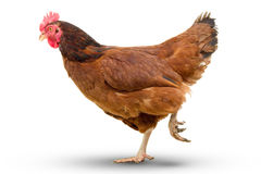 brown hen walking isolated on white, studio shot,chicken Royalty Free Stock Photography