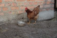 Chicken in the yard Royalty Free Stock Photography