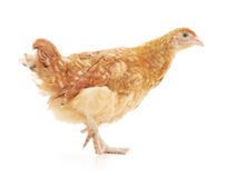 Brown hen Royalty Free Stock Image