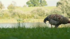 Brown-Henne, die Gras mit einem Teich im Hintergrund zupft stock footage