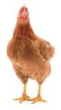 Brown-Henne lokalisiert Lizenzfreie Stockbilder