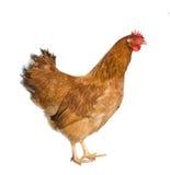 Brown-Henne lokalisiert auf Weiß Stockfotografie