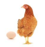 Brown-Henne mit Ei Stockbilder