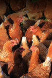 Brown Hens Stock Photos