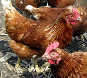 Brown Hens Stock Image
