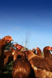 Brown Hens 3 Royalty Free Stock Image