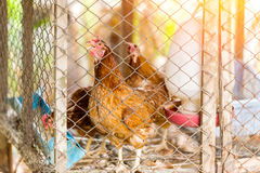 Brown hens is in the cage. closeup of photo Stock Photography