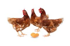 Brown hens with eggs isolated on white background, Chickens isolated on white.  royalty free stock photography