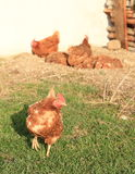 Brown hens Royalty Free Stock Photo