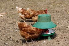 Free Brown Hens In Enclosure With Feeder Royalty Free Stock Photos - 133686068
