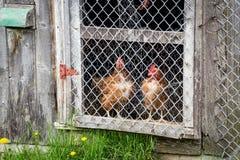 Brown hens observing in chicken coop. Door royalty free stock photo