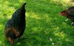 Chickens feeding in grass royalty free stock photo