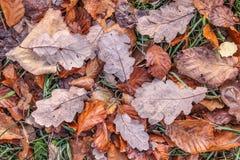 Brown-Herbstlaub mit Morgenfrost Stockfotos
