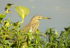Brown heron - closeup Royalty Free Stock Photography