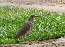 Brown heron Royalty Free Stock Photography