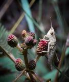 Brown-Heuschrecke (Chorthippus-parallelus) in der Natur Stockbilder