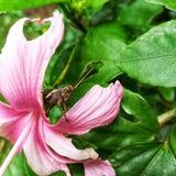 Brown-Heuschrecke ist unter der rosa Blume stockbilder