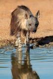 Brown hiena Obrazy Stock