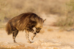 Brown hiena pozuje na skałach Zdjęcia Royalty Free