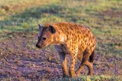 Brown hiena w poszukiwaniu zdobycza Mara kenya masai obraz royalty free