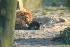 Brown hiena z lisiątkiem Zdjęcie Royalty Free