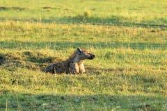 Brown hieny dosypianie na trawie Kenja, Afryka fotografia stock