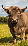 Brown Highland Bull Royalty Free Stock Photography