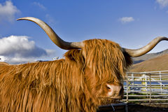 Brown highland cattle with blue sky in background Royalty Free Stock Photography