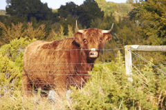 Brown highland cattle at the farm Royalty Free Stock Image