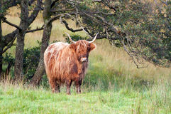 Brown highland cow. A brown highland cow standing alone in a highland meadow Stock Photos